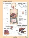 Az emésztőrendszer + Az emésztés DUO tanulói munkalap