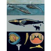 Kék bálna oktatótabló