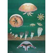 Medúza oktatótabló