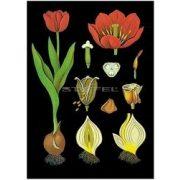 Tulipán oktatótabló