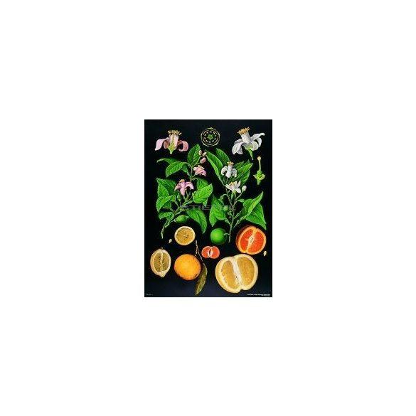 Citrusfélék oktatótabló