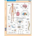 Az idegrendszer fixi tanulói munkalap