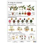 A virág és a termés + munkaoldal tanulói munkalap