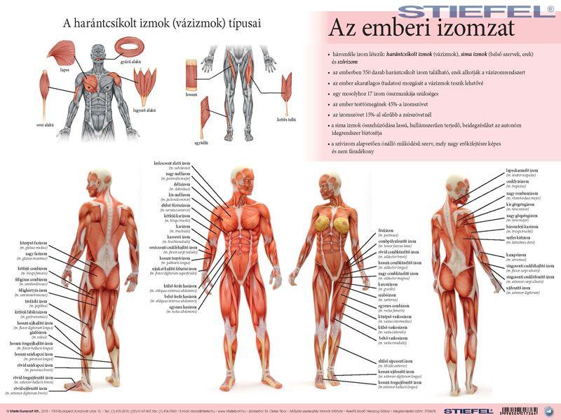 emberi ascaris izomzat)